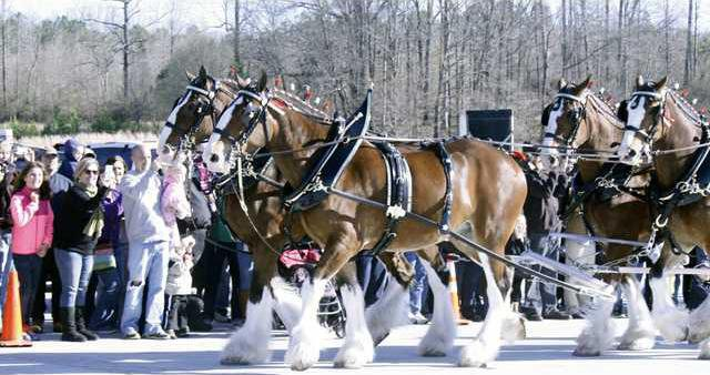 2 Clydesdales pic1
