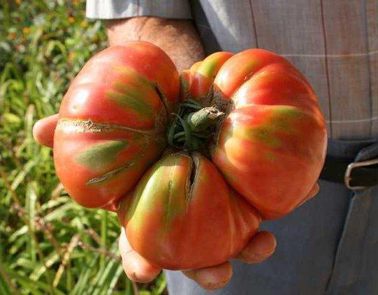 6 Tomato pic2