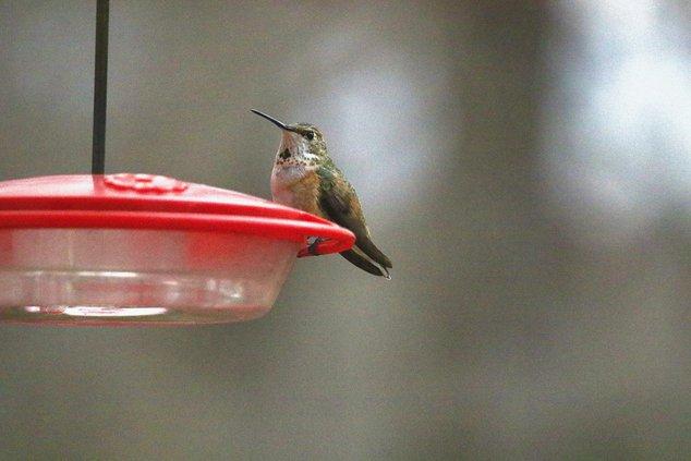 RUFOUS HUMMIINGBIRD 1.jpg