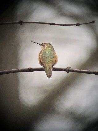 RUFOUS HUMMINGBIRD 2.jpg