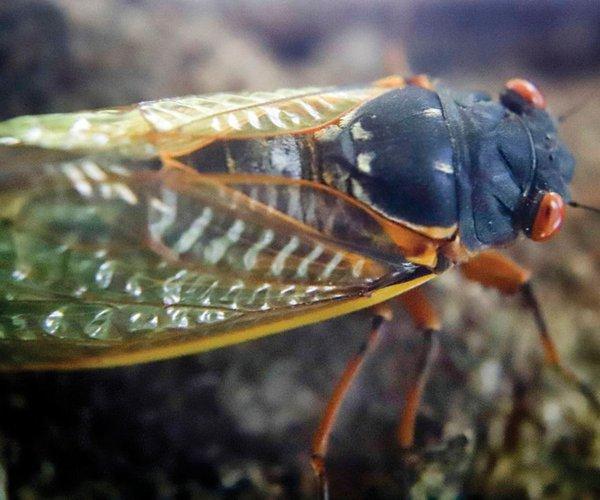 Cicada_max-1200...1200x675.jpg