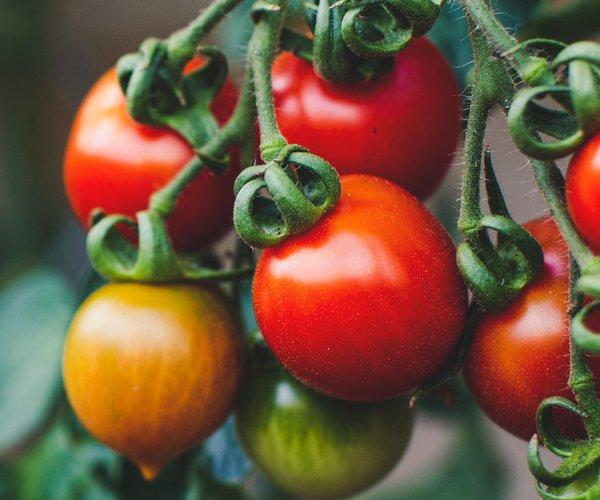 tomatoes stock